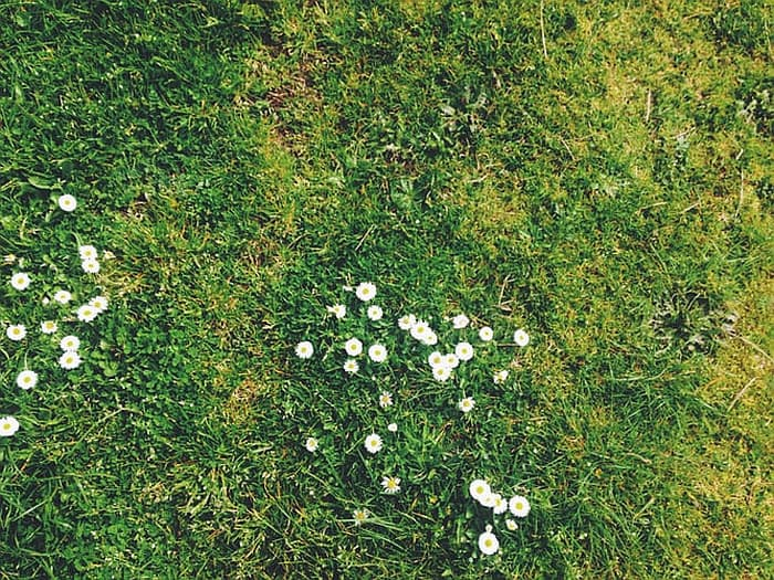 Blooming weeds in a grass lawn