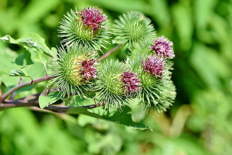 Flowering burdock