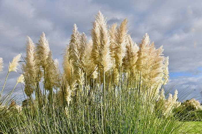 How To Get Rid Of Pampas Grass? Use These 3 Safe Ways!
