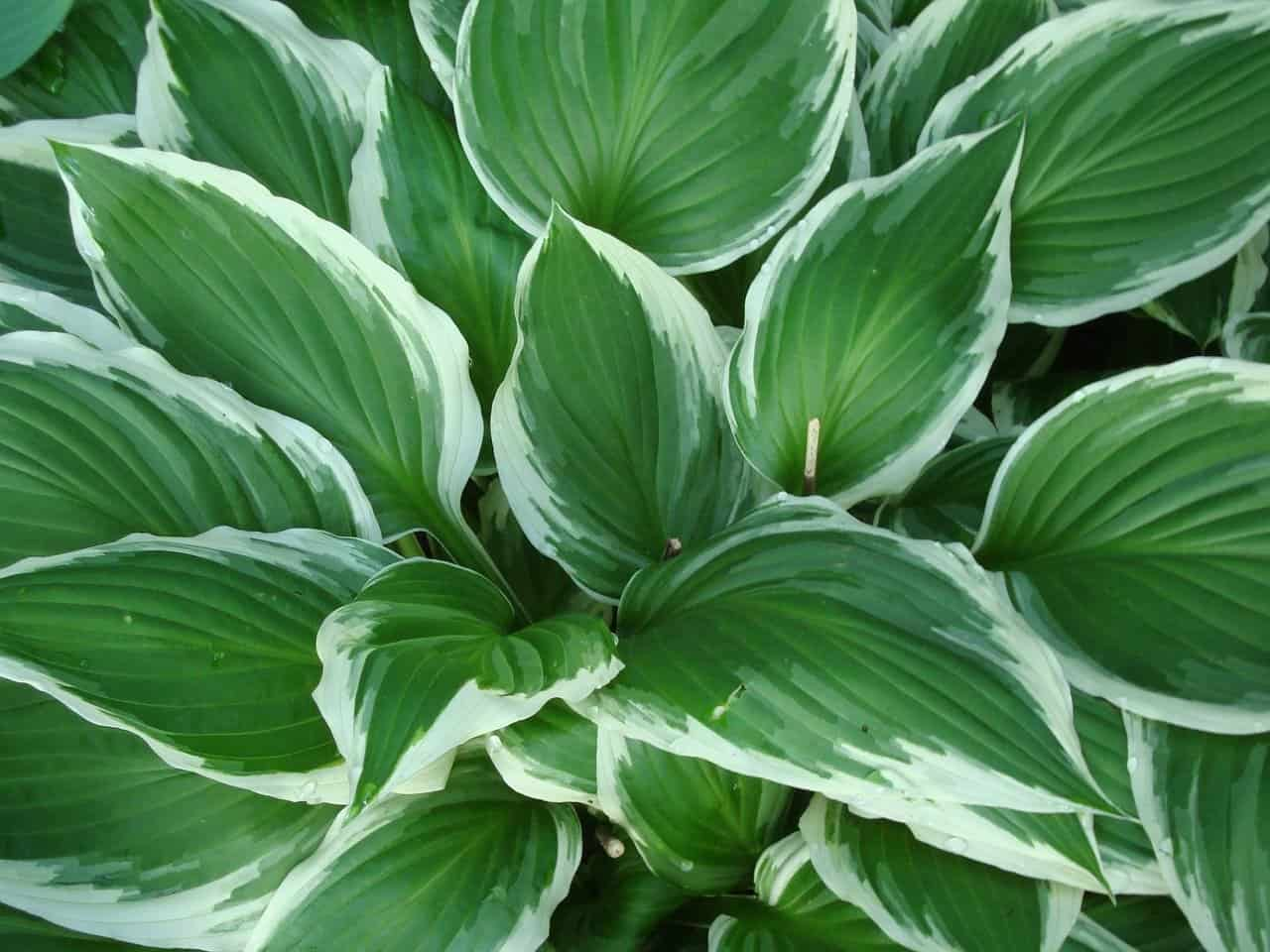 What eats hostas? Is it animals or insects?
