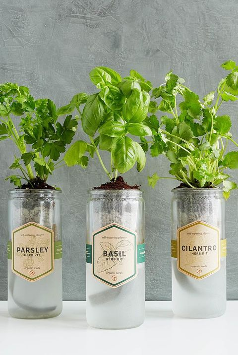 Small DIY herb garden planted in tall glass jars on the table #diy #indoorHerbGarden #indoorGardenIdeas #indoorgardendesigns #indoorgardenapartment #apartmentindoorgarden #apartmentgardening
