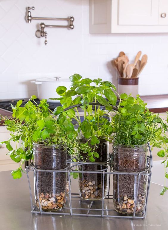 Small Herb Garden in jars in the kitchen on the countertop  #indoorHerbGarden #indoorGardenIdeas #indoorgardendesigns #indoorgardenapartment #apartmentindoorgarden #apartmentgardening
