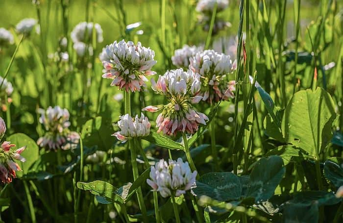 How to Get Rid of Clover - Try These 4 Ways