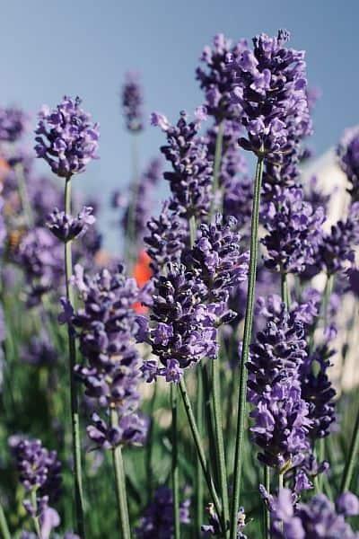 Lavender flowers up close