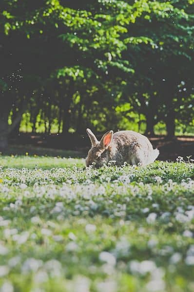 A rabbit munching weeds
