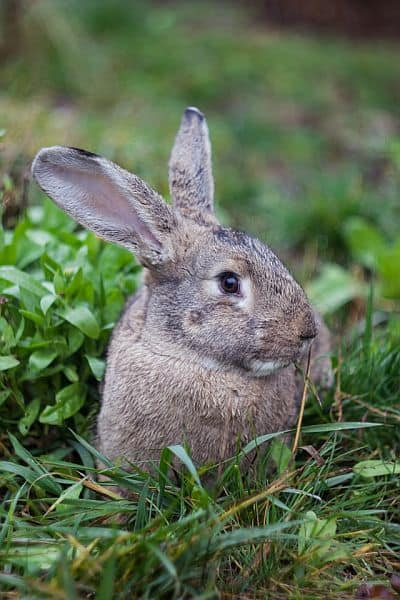 A close-up shot of a rabbit in the garden