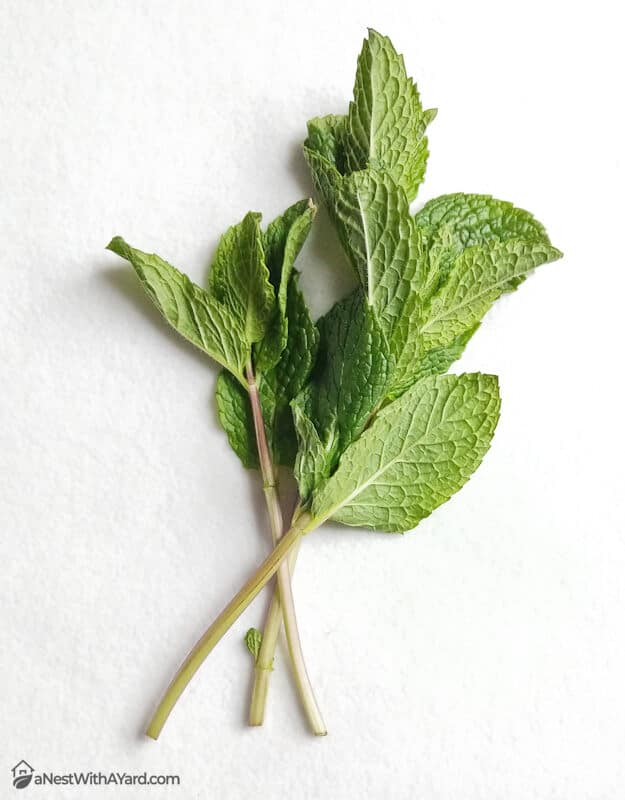 Mint cuttings with leaves