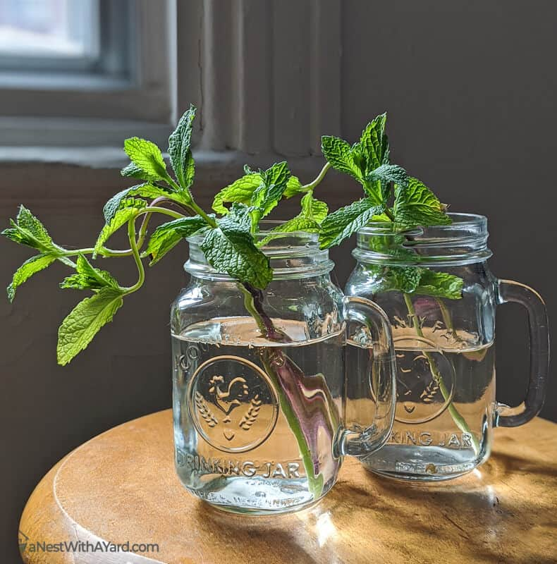 Mint leaves in mason jars