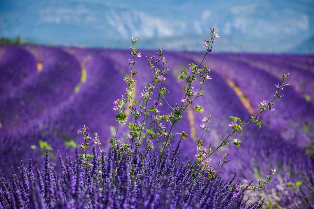 Growing Lavender In Florida: All You Need To Know