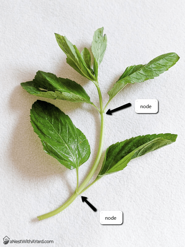 Where to cut the mint stem
