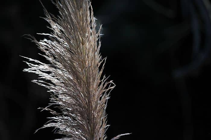 Pampa Grass stalk