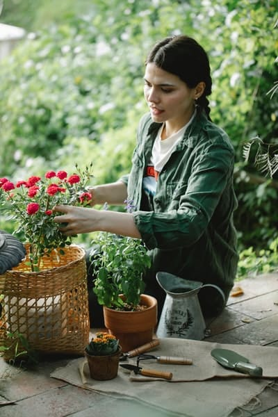A woman tending to potted rose bush