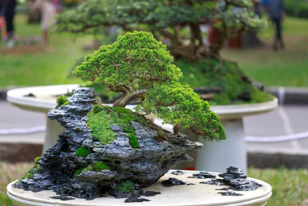 Bonsai on a rock #needled