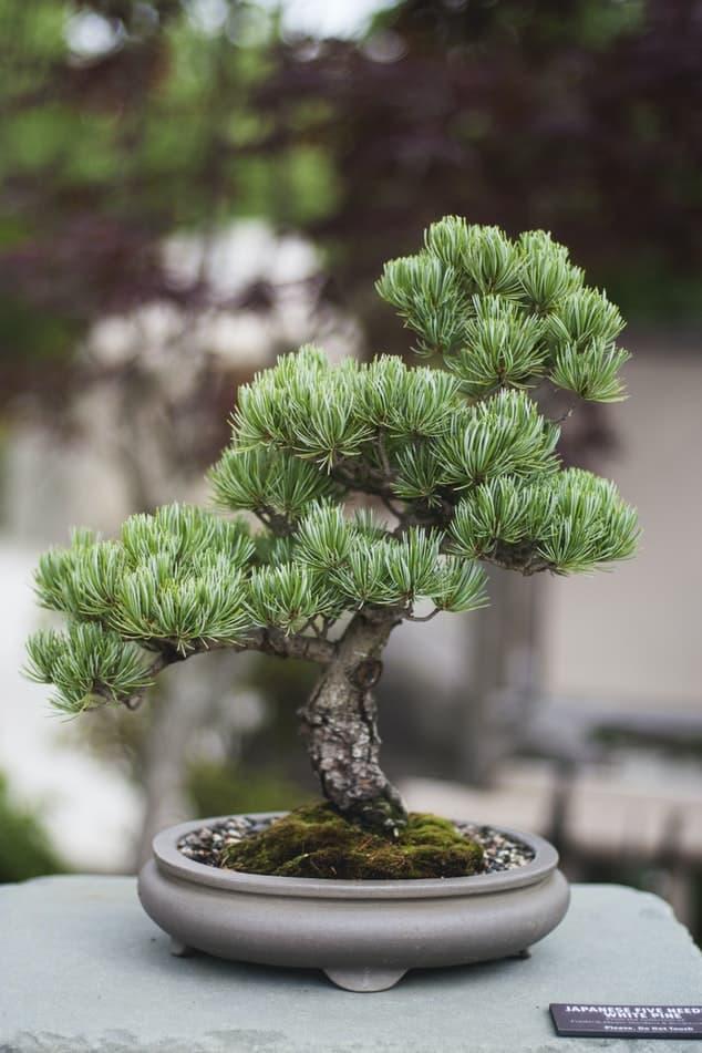 Classic bonsai #needled