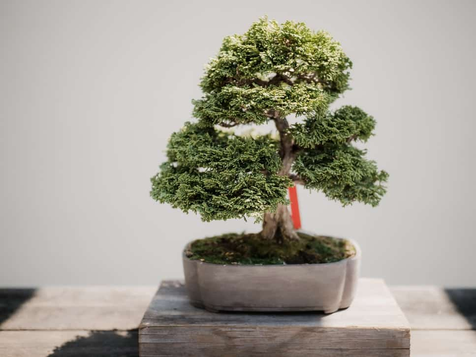 25 Smallest Bonsai Trees