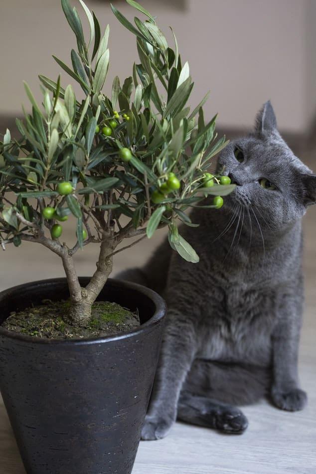 Olive bonsai #Foliar