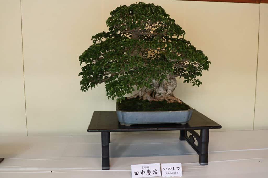Bonsai as Design Focal Point #foliar