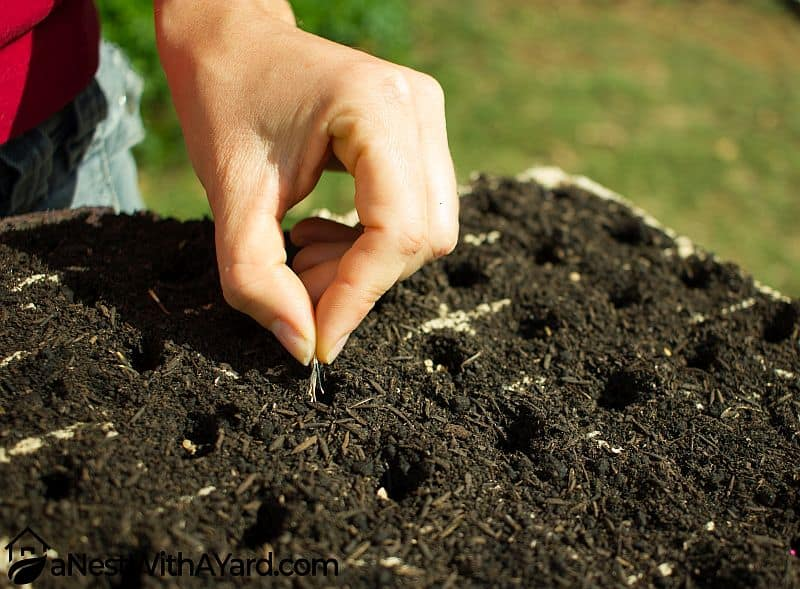 Planting mint seeds in plant trays
