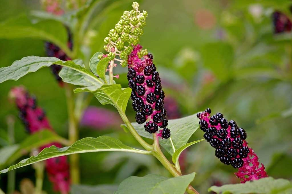 How to get rid of pokeweed: Do it safely either organically or with herbicides