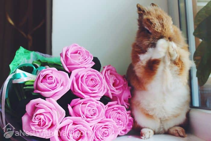 Do Rabbits Eat Roses? How To Protect Your Rose Bushes From Bunnies