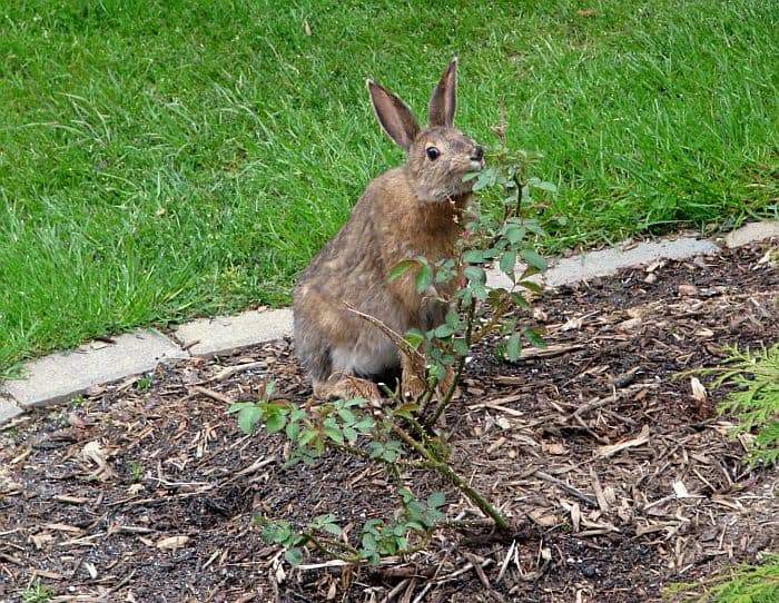 A rabbit nibbling on a rose leaf