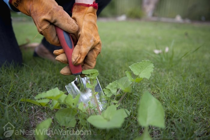 removing weeds from lawn with a trowel
