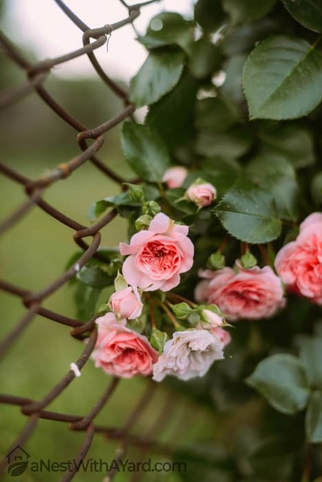 A blooming rose bush by the fence
