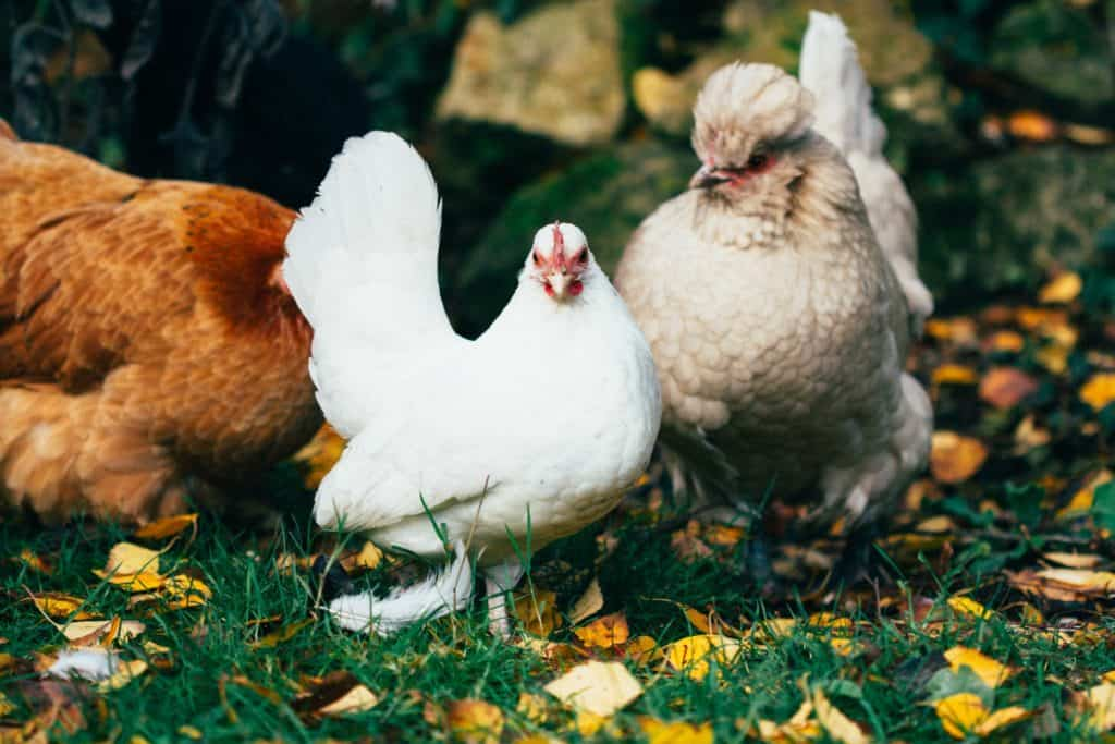 Chickens will happily step on dry leaves
