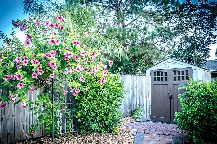 A picture of a backyard with a resin shed and a flowery vine fence and leafy shrubs