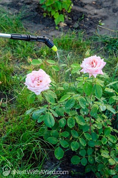 Spraying chemicals over a blooming rose bush