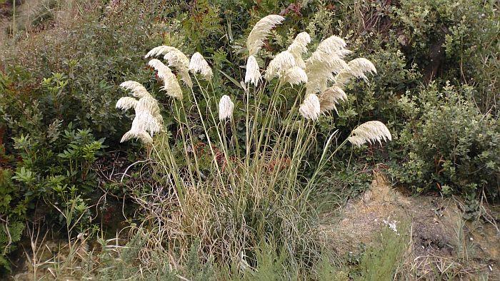 tall Pampa Grass