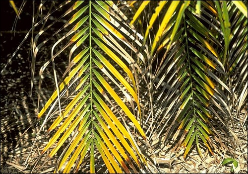 A palm tree with yellowish leaves