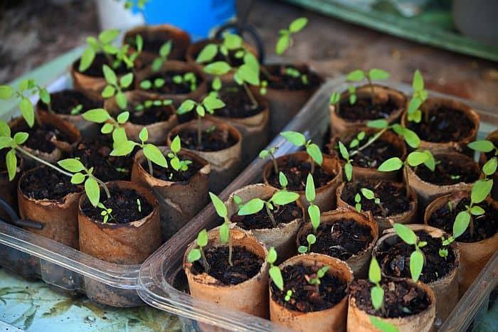 treys of seedlings