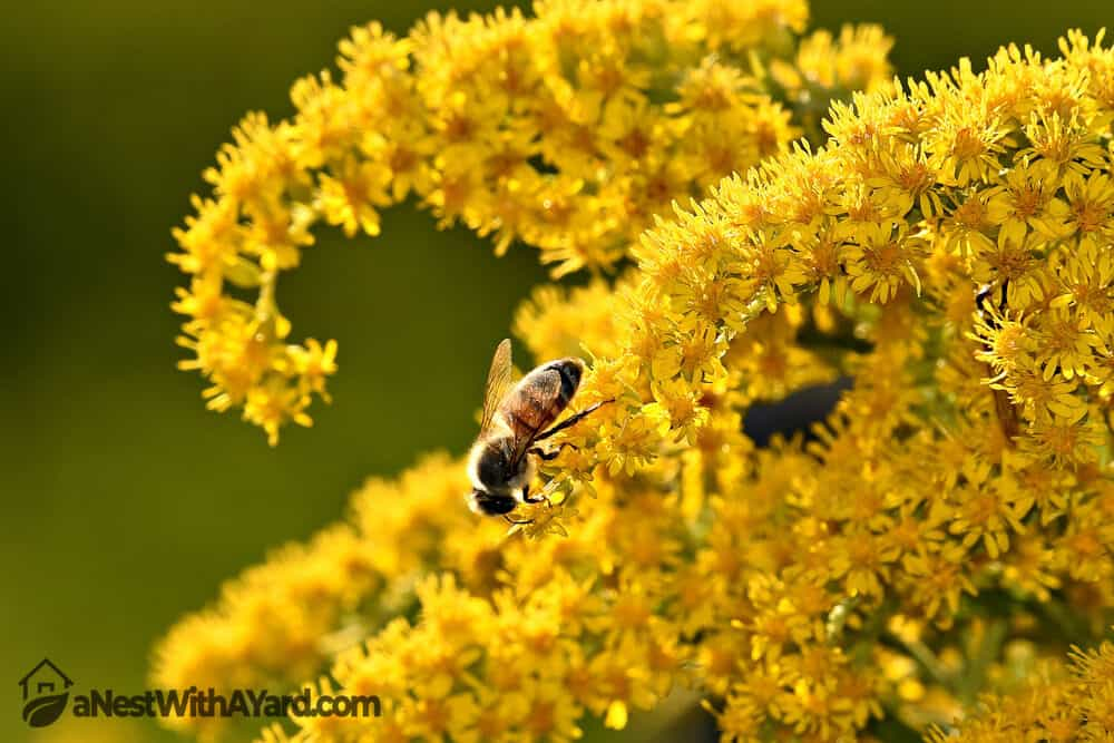 A Bee Finds Rest in a Goldenrod Weed #weeds #gardening #lawn #plants #flowers #backyard #backyardLandscaping
