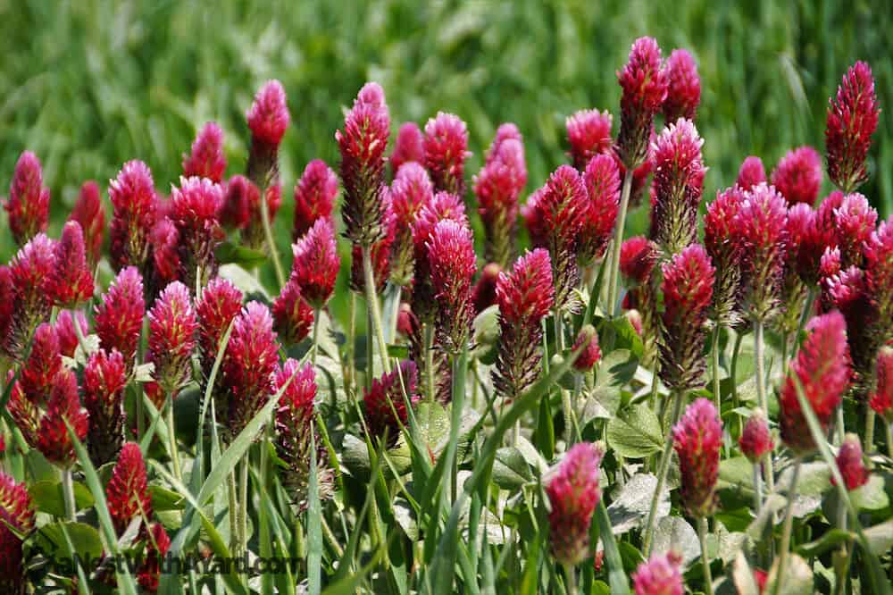 A Row of Clover Weeds #weeds #gardening #lawn #plants #flowers #backyard #backyardLandscaping