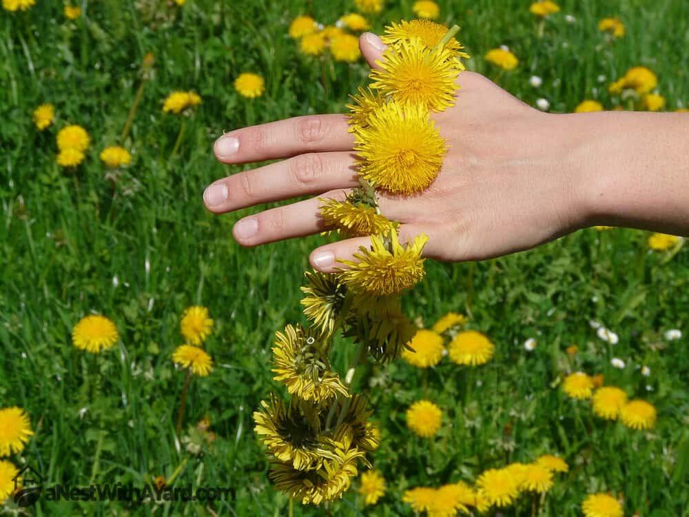 Inspecting a Gorgeous Dandelion #weeds #gardening #lawn #plants #flowers #backyard #backyardLandscaping