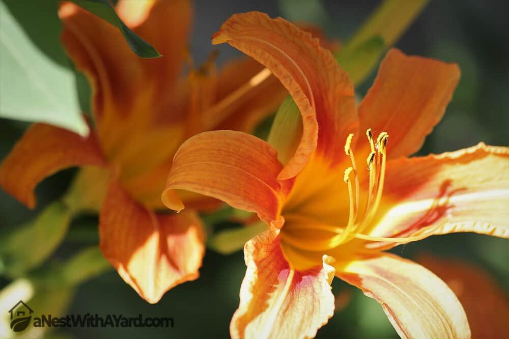 Daylily in full bloom #weeds #gardening #lawn #plants #flowers #backyard #backyardLandscaping